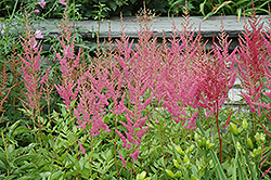 Visions in Pink Chinese Astilbe (Astilbe chinensis 'Visions in Pink') at New Garden Landscaping & Nursery