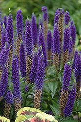 Royal Candles Speedwell (Veronica spicata 'Royal Candles') at New Garden Landscaping & Nursery