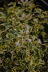 Twist of Lime™ Glossy Abelia (Abelia x grandiflora 'Hopley's') at New Garden Landscaping & Nursery