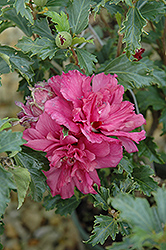 Collie Mullins Rose Of Sharon (Hibiscus syriacus 'Collie Mullins') at New Garden Landscaping & Nursery