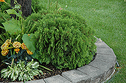 Danica Arborvitae (Thuja occidentalis 'Danica') at New Garden Landscaping & Nursery