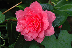 Mike Whitman Camellia (Camellia 'Mike Whitman') at New Garden Landscaping & Nursery