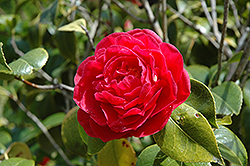 Mathotiana Camellia (Camellia japonica 'Mathotiana') at New Garden Landscaping & Nursery