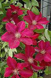 Rebecca Clematis (Clematis 'Rebecca') at New Garden Landscaping & Nursery