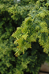 Gold Fern Hinoki Falsecypress (Chamaecyparis obtusa 'Gold Fern') at New Garden Landscaping & Nursery