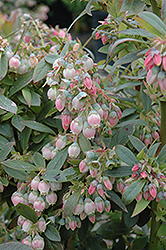 Sunshine Blue Blueberry (Vaccinium corymbosum 'Sunshine Blue') at New Garden Landscaping & Nursery