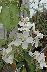 Gala Apple (Malus 'Gala') at New Garden Landscaping & Nursery