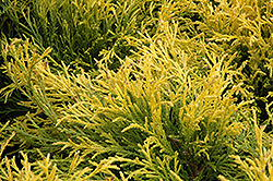 Golden Mop Falsecypress (Chamaecyparis pisifera 'Golden Mop') at New Garden Landscaping & Nursery
