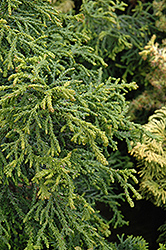 Torulosa Dwarf Hinoki Falsecypress (Chamaecyparis obtusa 'Torulosa') at New Garden Landscaping & Nursery