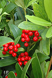 Japanese Skimmia (Skimmia japonica) at New Garden Landscaping & Nursery