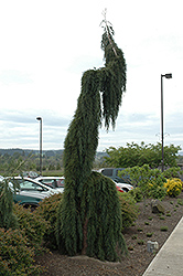 Weeping Giant Sequoia (Sequoiadendron giganteum 'Pendulum') at New Garden Landscaping & Nursery