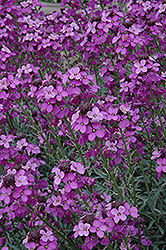 Bowles Mauve Wallflower (Erysimum 'Bowles Mauve') at New Garden Landscaping & Nursery