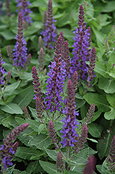 Sensation Deep Blue Sage (Salvia nemorosa 'Sensation Deep Blue') at New Garden Landscaping & Nursery