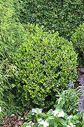 Winter Gem Boxwood (Buxus microphylla 'Winter Gem') at New Garden Landscaping & Nursery