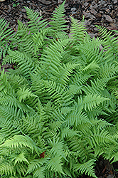 New York Fern (Thelypteris noveboracensis) at New Garden Landscaping & Nursery