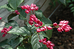 Flaming Glorybower (Clerodendrum splendens) at New Garden Landscaping & Nursery