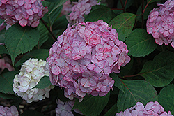 Pink Beauty Hydrangea (Hydrangea macrophylla 'Pink Beauty') at New Garden Landscaping & Nursery