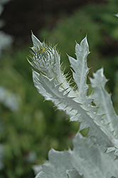 Cardoon (Cynara cardunculus) at New Garden Landscaping & Nursery
