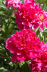 Shawnee Chief Peony (Paeonia 'Shawnee Chief') at New Garden Landscaping & Nursery