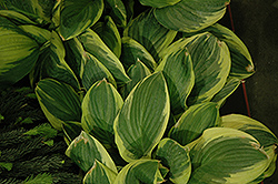 Blazing Saddles Hosta (Hosta 'Blazing Saddles') at New Garden Landscaping & Nursery