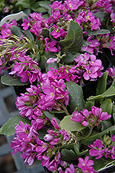 Spring Charm Rock Cress (Arabis 'Spring Charm') at New Garden Landscaping & Nursery