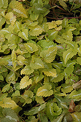 Lemon Frost Spotted Dead Nettle (Lamium maculatum 'Lemon Frost') at New Garden Landscaping & Nursery