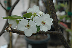 Hosui Asian Pear (Pyrus pyrifolia 'Hosui') at New Garden Landscaping & Nursery