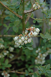Jubilee Blueberry (Vaccinium corymbosum 'Jubilee') at New Garden Landscaping & Nursery