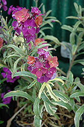 Variegated Wallflower (Erysimum linifolium 'Variegatum') at New Garden Landscaping & Nursery