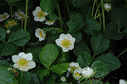 Seascape Strawberry (Fragaria 'Seascape') at New Garden Landscaping & Nursery