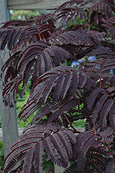Summer Chocolate Mimosa (Albizia julibrissin 'Summer Chocolate') at New Garden Landscaping & Nursery