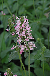 Pink Cotton Candy Betony (Stachys officinalis 'Pink Cotton Candy') at New Garden Landscaping & Nursery