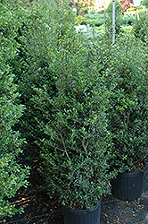 Jersey Pinnacle Japanese Holly (Ilex crenata 'Jersey Pinnacle') at New Garden Landscaping & Nursery