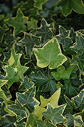 Gold Child Ivy (Hedera helix 'Gold Child') at New Garden Landscaping & Nursery