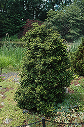 Dwarf Pagoda Japanese Holly (Ilex crenata 'Dwarf Pagoda') at New Garden Landscaping & Nursery