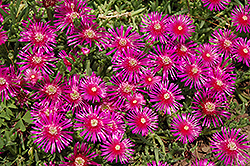 Purple Ice Plant (Delosperma cooperi) at New Garden Landscaping & Nursery