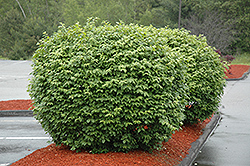 Pipsqueak Winged Burning Bush (Euonymus alatus 'Pipzam') at New Garden Landscaping & Nursery