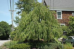 Weeping Katsura Tree (Cercidiphyllum japonicum 'Pendulum') at New Garden Landscaping & Nursery