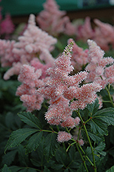 Sister Theresa Astilbe (Astilbe x arendsii 'Sister Theresa') at New Garden Landscaping & Nursery