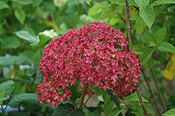 Bella Anna Hydrangea (Hydrangea arborescens 'Bella Anna') at New Garden Landscaping & Nursery