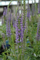 High Five Speedwell (Veronica 'High Five') at New Garden Landscaping & Nursery