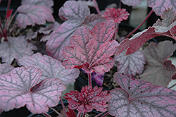 Midnight Bayou Coral Bells (Heuchera 'Midnight Bayou') at New Garden Landscaping & Nursery