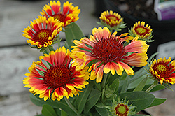 Lucky Wheeler Blanket Flower (Gaillardia x grandiflora 'Lucky Wheeler') at New Garden Landscaping & Nursery