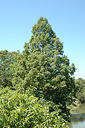 Baldcypress (Taxodium distichum) at New Garden Landscaping & Nursery