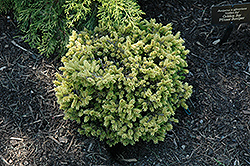 Tom Thumb Oriental Spruce (Picea orientalis 'Tom Thumb') at New Garden Landscaping & Nursery