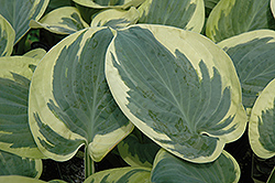 Snow Cap Hosta (Hosta 'Snow Cap') at New Garden Landscaping & Nursery