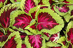 Kong Rose Coleus (Solenostemon scutellarioides 'Kong Rose') at New Garden Landscaping & Nursery