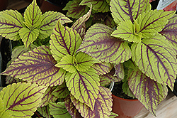 Gays Delight Coleus (Solenostemon scutellarioides 'Gays Delight') at New Garden Landscaping & Nursery