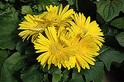 Yellow Gerbera Daisy (Gerbera 'Yellow') at New Garden Landscaping & Nursery