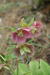 Pink Lady Hellebore (Helleborus 'Pink Lady') at New Garden Landscaping & Nursery